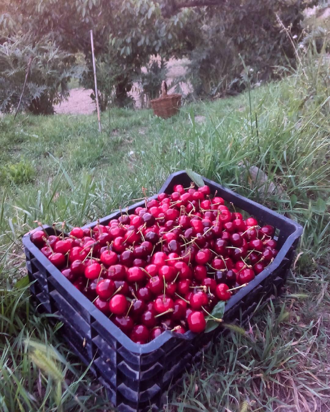Me las coma todas amam cerezas organic bio ecologico agriculturahellip