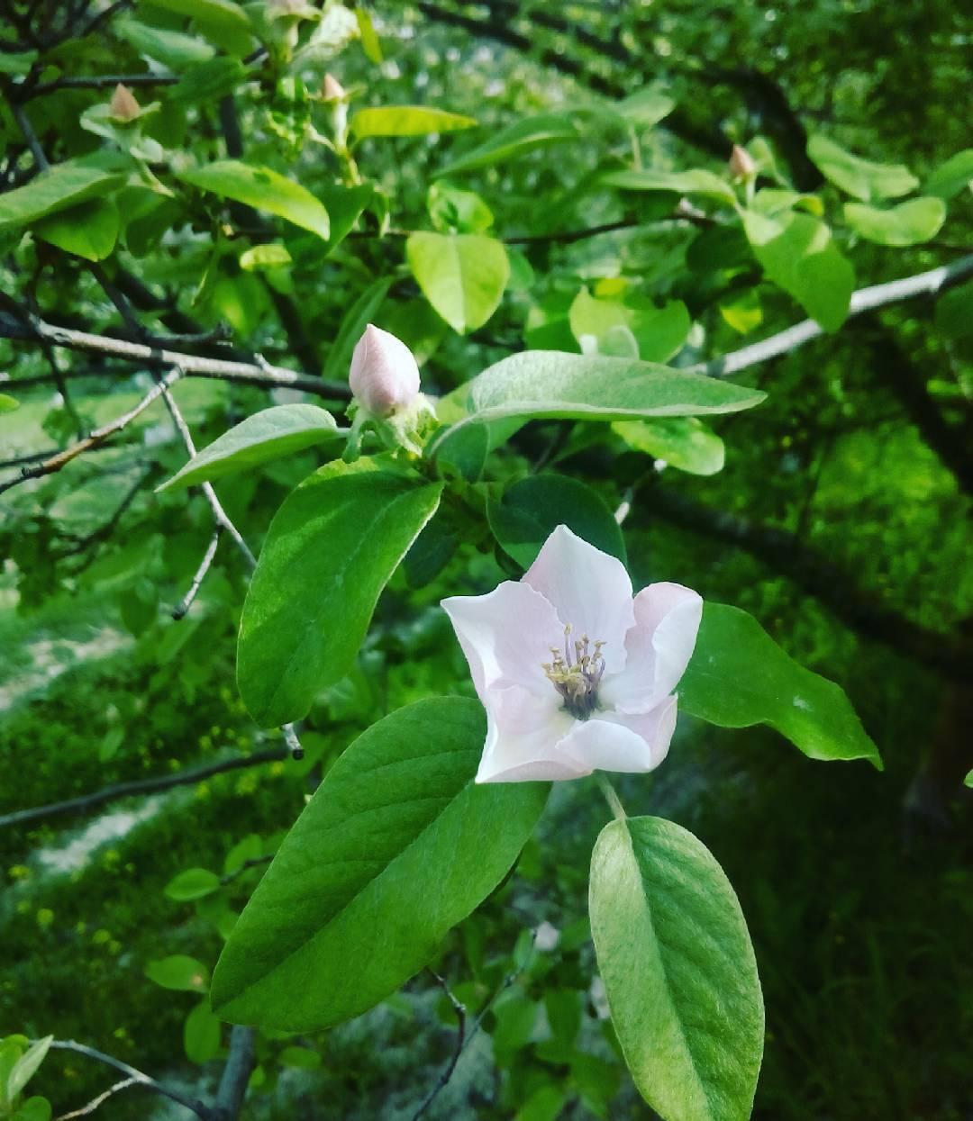 Membrillo en flor primavera