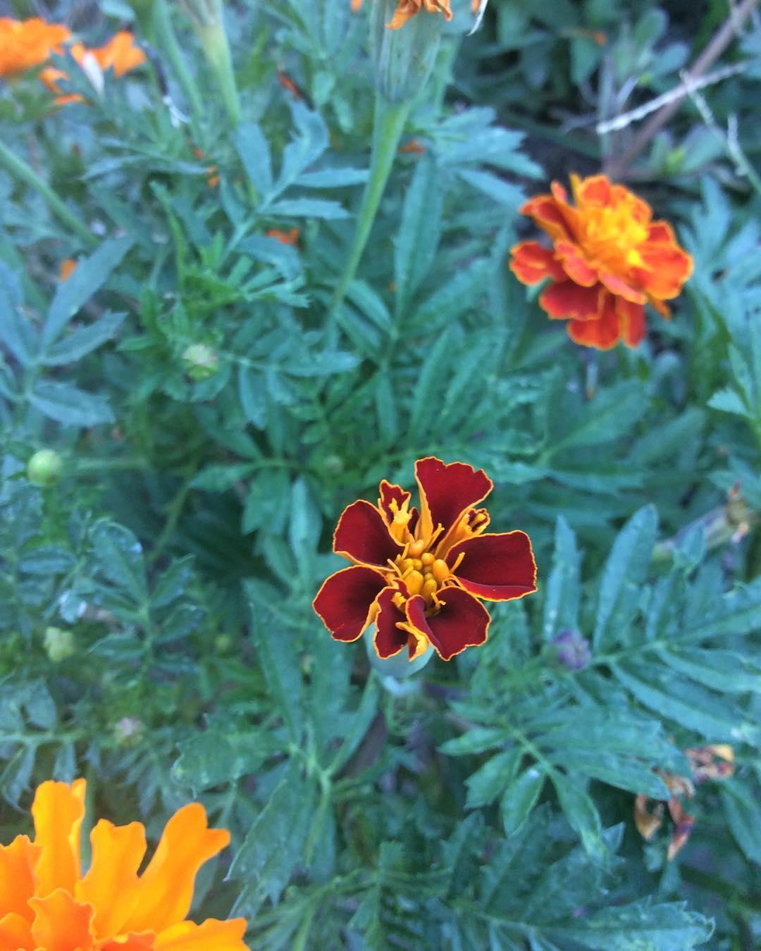 Tajete o clavelones en flor una de las plantas auxiliareshellip