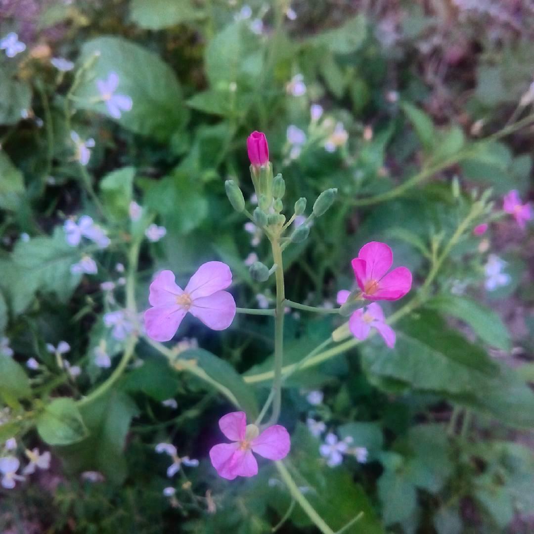 Rbanos picantes en flor al final mi cutre mvil nohellip