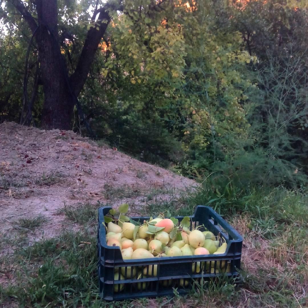 Perillas dulhiciosas ecologico ecoblog organic sostenibilidad perasdeagua verdequetequieroverde jaen hortelanos